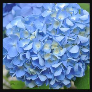 Light Blue Hydrangea Trivet